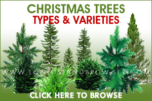 Holiday Christmas Tree Types Varieties - Cedars Cypresses Firs Pines Spruces - Nassau County, Suffolk County, Long Island, New York
