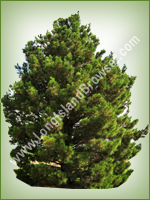Afghan Pine (Pinus eldarica) - Long Island Holiday Christmas Tree