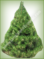 Austrian Pine (Pinus nigra) - Long Island Holiday Christmas Tree
