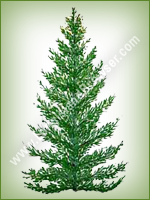 Balsam Fir (Abies balsamea) - Long Island Holiday Christmas Tree