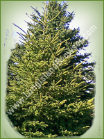 Black Hills Spruce (Picea glauca) - Long Island Holiday Christmas Tree