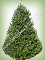 Canaan Fir (Abies balsamea) - Long Island Holiday Christmas Tree