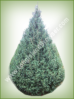 Carolina Sapphire (Cupressus arizonica) - Long Island Holiday Christmas Tree