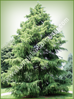 Deodar Cedar (Cedrus deodara) - Long Island Holiday Christmas Tree