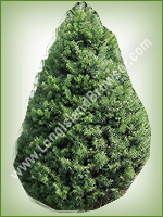 Douglas Fir (Pseudotsuga menziesii) - Long Island Holiday Christmas Tree