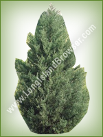 Eastern Red Cedar (Juniperus virginiana) - Long Island Holiday Christmas Tree