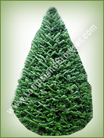 Fraser Fir (Abies fraseri) - Long Island Holiday Christmas Tree