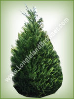 Leyland Cypress (Cupressus x leylandii) - Long Island Holiday Christmas Tree