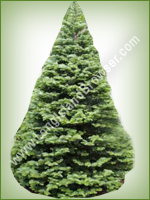 Noble Fir (Abies procera) - Long Island Holiday Christmas Tree