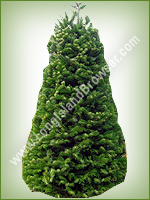 Nordmann Fir (Abies nordmanniana) - Long Island Holiday Christmas Tree