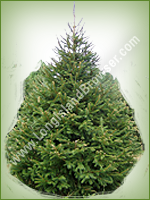 Norway Spruce (Picea abies) - Long Island Holiday Christmas Tree