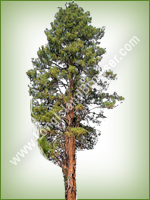 Ponderosa Pine (Pinus ponderosa) - Long Island Holiday Christmas Tree