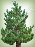 Red Pine (Pinus resinosa) - Long Island Holiday Christmas Tree