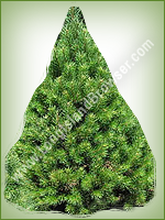 Scotch Pine (Pinus sylvestris) - Long Island Holiday Christmas Tree