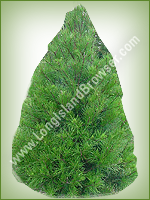Virginia Pine (Pinus virginiana) - Long Island Holiday Christmas Tree