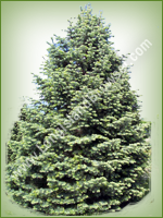 White Fir (Concolor Fir) (Abies concolor) - Long Island Holiday Christmas Tree