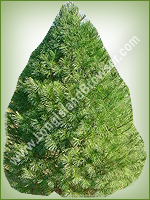 White Pine (Pinus strobus) - Long Island Holiday Christmas Tree