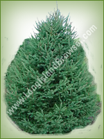 White Spruce (Picea glauca) - Long Island Holiday Christmas Tree